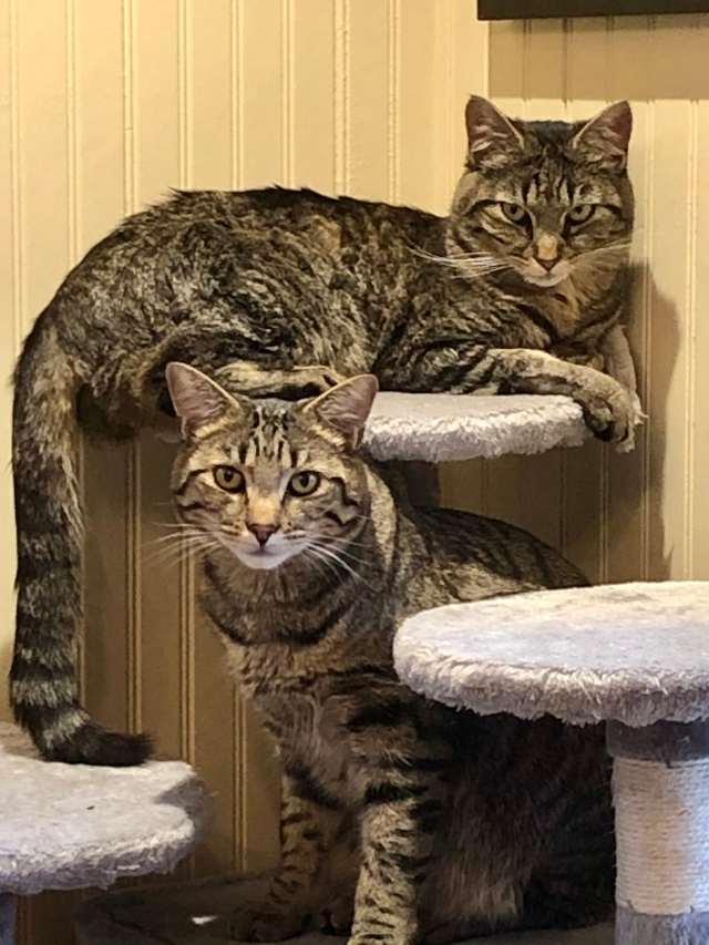 Twom tabby cats looking at the camera. Bytheir expressions, they clearly do not approve of their conversation being interrupted