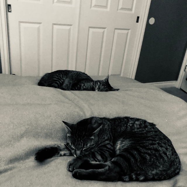 Black and whie night-time photo of two tabby cats curled up o either side of a sleeping figure's legs