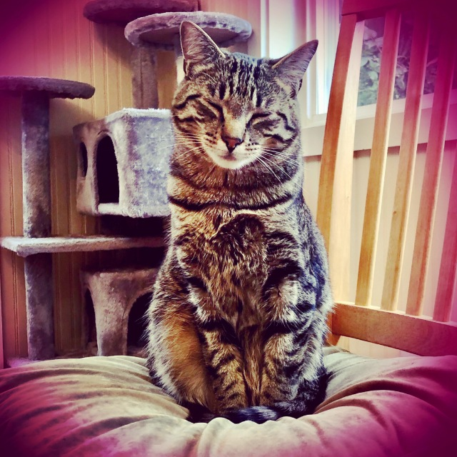 A pink-tinged photo of a large tabby cat sitting on a cushion with his tail wrapped aroun dhis feet doing that kissy-eyes thing