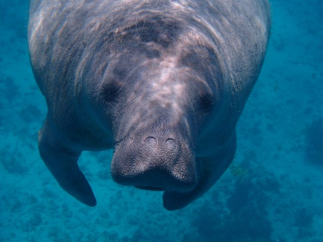 A slow grey manatee just hanging still in blue water