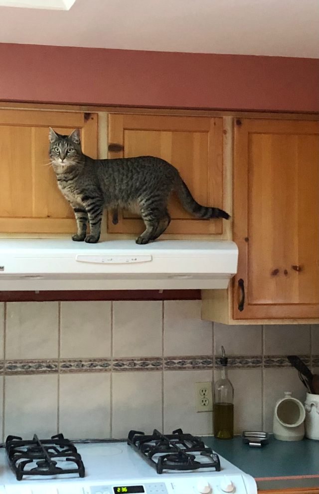 Tabby cat on to of a stove vent hood with a skylight just visible above him