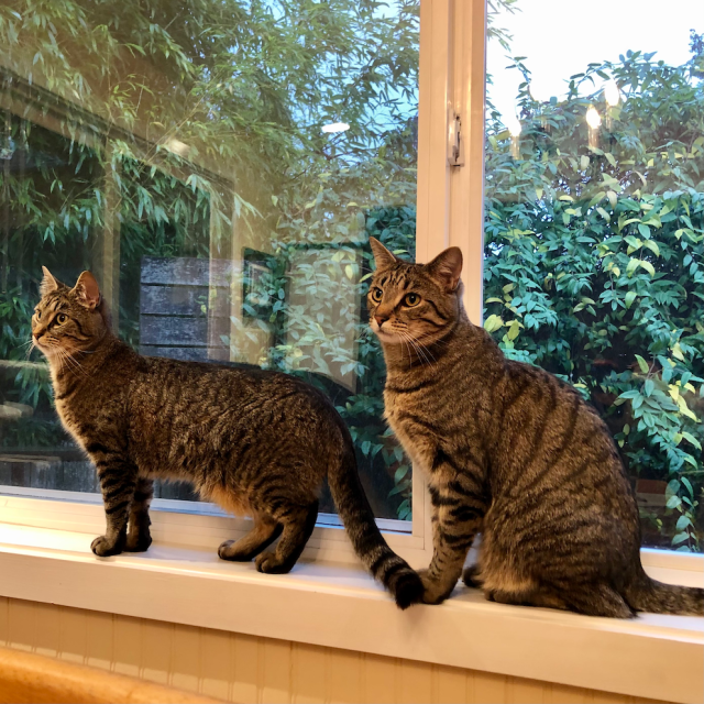Two tabby cats on a kitchen windowsill