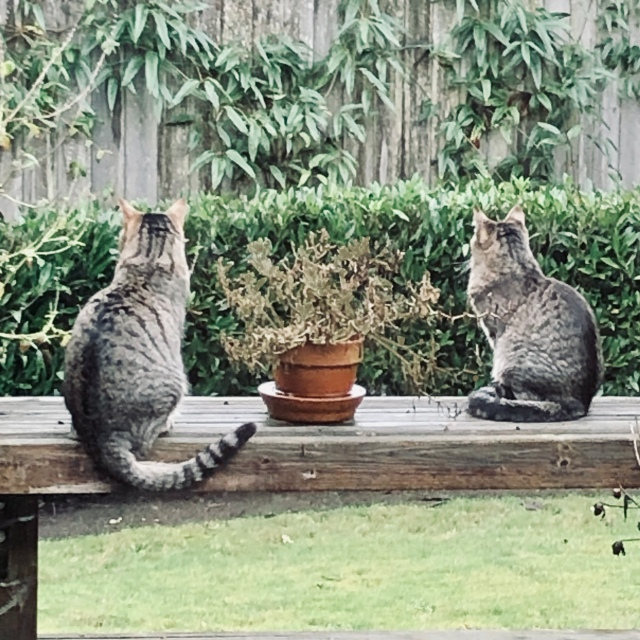 Two tabby cats with their back to the camera sitting on a deck bench on either side of a plant pot full of very dead flowers