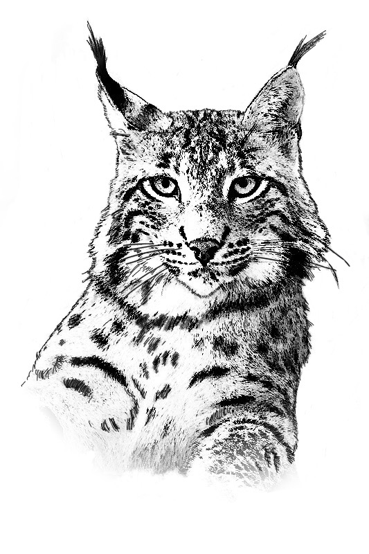 Black and white sketch of the head and shoulders of a big Iberian lynx with tufted ears, facing towards the viewer