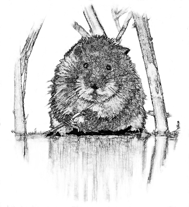 Black and white sketch of a water vole crouching by the edge of the water eating a shoot held in its front paws